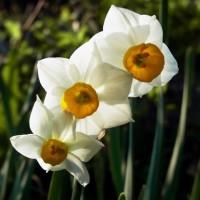 野草の花 スイセン