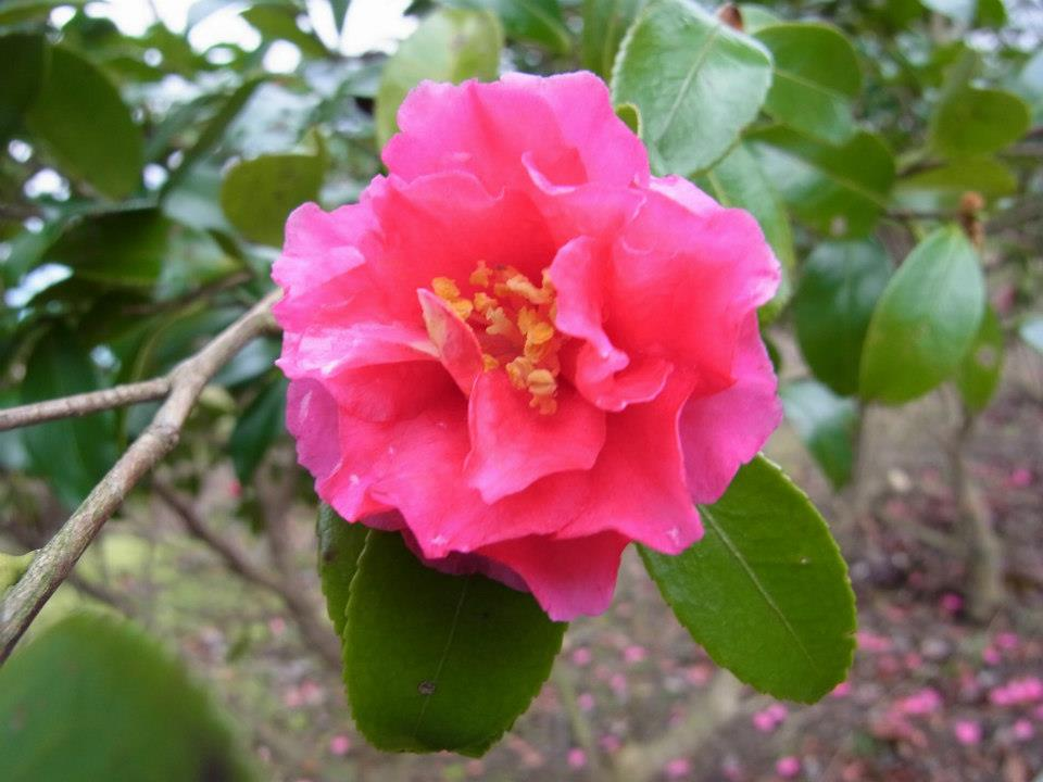 サザンカ(山茶花)の花