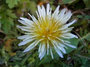 冬咲き シロバナタンポポ(白花蒲公英)