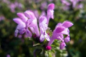 野草,花,ホトケノザ,仏の座