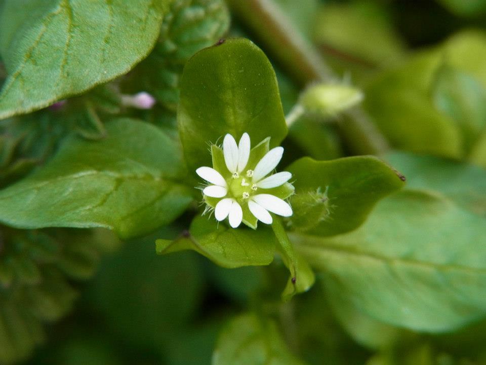 野草の花 コハコベ(小繁縷)