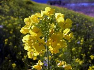 野草の花 ナノハナ(菜の花)