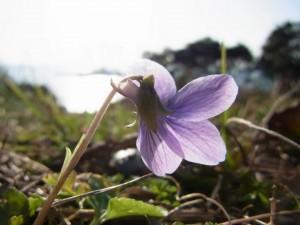 野草の花 スミレ(菫)