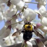 フジの花が咲くと訪れる蜂