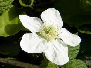 野草の花 クサイチゴ(草苺)