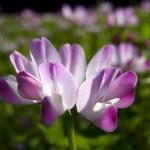 野草の花 レンゲソウ(蓮華草)