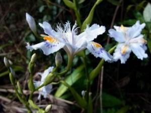 野草の花 シャガ(著莪)
