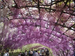 花めぐり藤のトンネル「河内藤園」