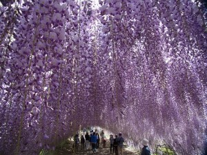 花めぐり藤のトンネル河内藤園