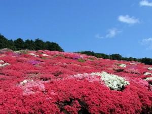 花めぐり長串山ツツジ
