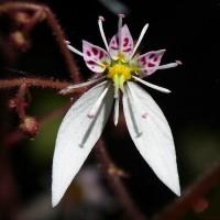 野草の花 ユキノシタ(雪ノ下)